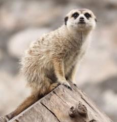 szurikáta fotó: Zoo Nagyvárad