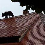 medve_szeben2