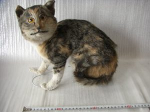 preparalt-ijedt-macska